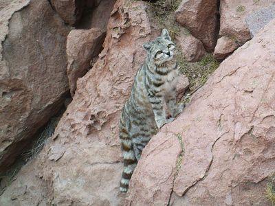 Gato andino Explora Conservation Reserve